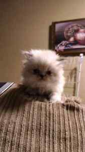 Persian Himalayan with shots  London Ontario image 2