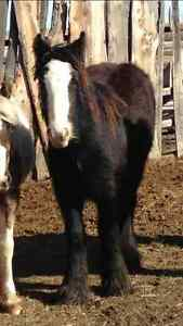 Gypsy Vanner Filly Prince George British Columbia image 2