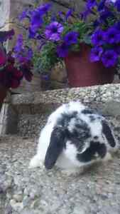 Free dutch black and white rabbit. Comes with all needed iteams.