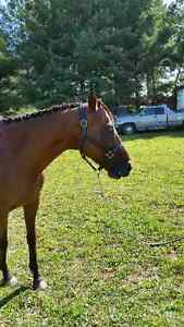 Horses Available for Coboarding Cambridge Kitchener Area image 2