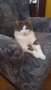 Lost Grey and White Tabby