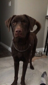 *FOUND HOME*Chocolate lab looking for new home