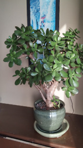 Absolutely beautiful big Jade plant in good quality nice pot