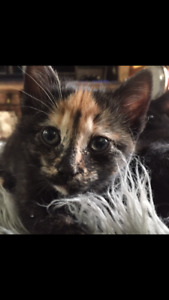 Free 4 month old Tortie kitten.