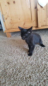 2 beautiful Maine Coon cross kittens for sale