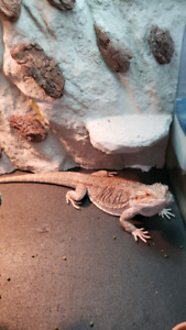 Bearded Dragon BIG MALE 1.5 years old (PET ONLY)