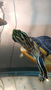 Rehoming a Turtle, Yellow belly slider all accessories included