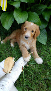 F1B Labradoodle Pups Ready To Go.  Please contact.  Born June 20