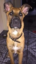 Boxer/German Shepherd Puppy Marrickville Marrickville Area Preview