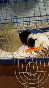 2 year old guinea pig with cage and accessories