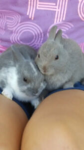 Gorgeous baby Netherland Dwarf babies! oNLY 1 LEFT!