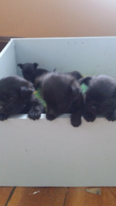 Pug cross shitzue puppies ready end of February