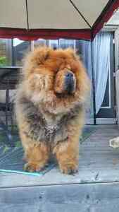 Adult female chow chow for sale ! Kitchener / Waterloo Kitchener Area image 2