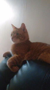 Orange tabby kitten needs a new ASAP, free and everything includ