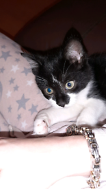 Beautiful Black and white female kitten 9 weeks old