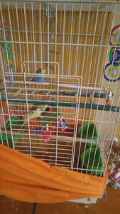 Budgies for sale $50.00
