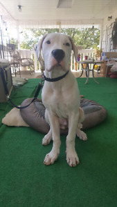 1 Year old Male Dogo Argentino