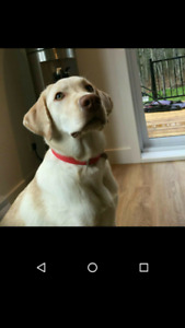 Labrador blond à vendre