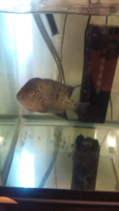 51 gallon tank, stand and male blue flowerhorn$250