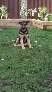 King German Shepherd pups with 1st shots and papers