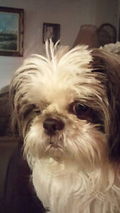I am looking for a shih tzu