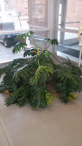 House Plants - Lacy tree philodendrons