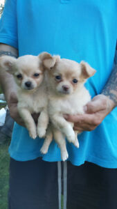 Only two left adorable apple head Chihuahuas