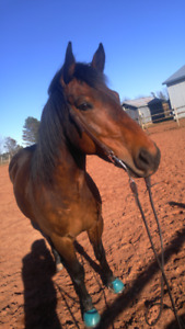 Beautiful 9 year old Morgan/Qh for sale
