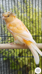 Red Crested Canary