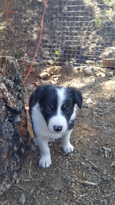 Border Collie Puppies Ready To Go Their New Homes Sept 1st 2016!