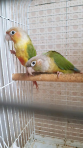 Pair of Conures (Pineapple and Cinnamon)
