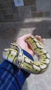 Ball python collection downsize