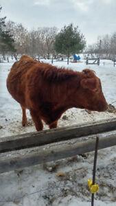 Limousin pleine