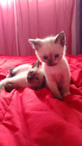 Chatons Siamois Blue point Pur Race