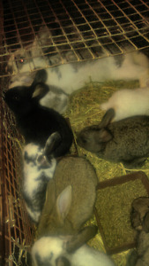New Zealand baby rabbits for sale