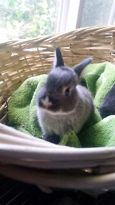 ADORABLE Netherland Dwarf Bunny Rabbits now ready!