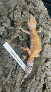 Plusieurs gecko leopard disponibles