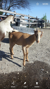 *new price * 3.5 month old doeling!