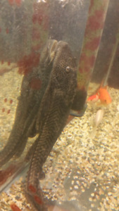 Plecostomus fish!