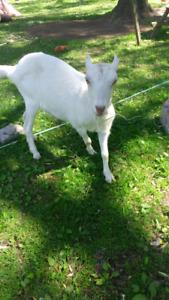 1 yr old female lamacha goat