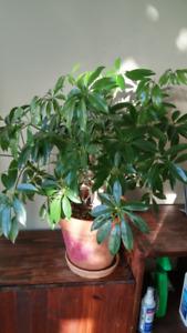 Umbrella houseplants and others