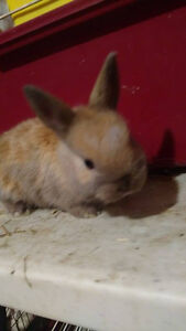 Dwaft bunnys 2 litters for sale,