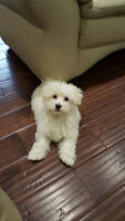TINY MALTESE MALE PUPPY