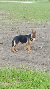 Purebred German shepherd female puppie 6 month