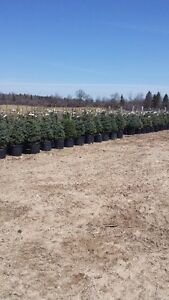 Baby Blue Spruce trees