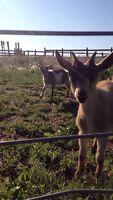 2 Pygmy goats for sale