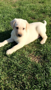 Pure Bred Yellow lab (sold) ad still on since I paid till the 29