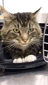 Found Tabby Cat Prince George British Columbia image 1
