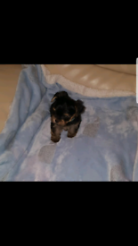 Male Yorkshire terrier puppy