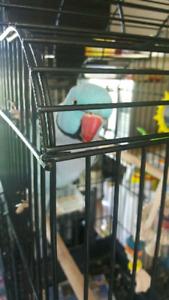Pet bird sitter birds parrot  love bird macaw HOLIDAYS SPECIAL